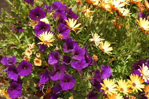 Yellow_and_purple_flowers