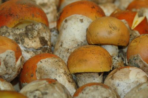 Ovuli_in_alba_truffle_market